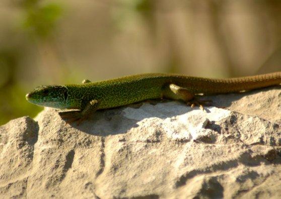 Travel Postcard - Lizard