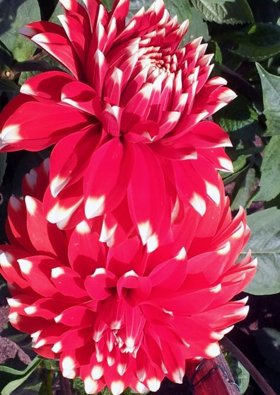 Travel Postcard - White Tipped Dahlias