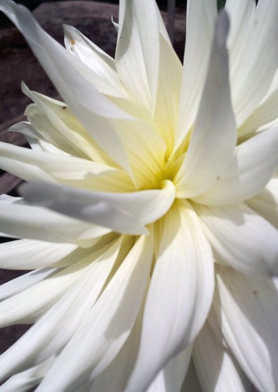 Travel Postcard - Dahlia White