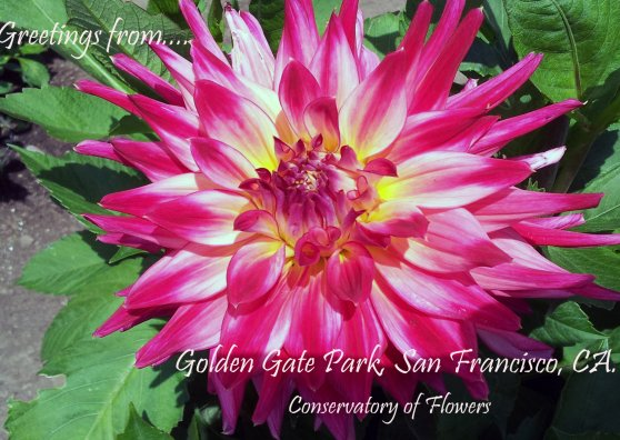 Travel Postcard - Dahlia Greetings