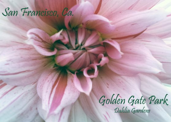 Travel Postcard - Dahlia Garden