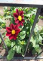 Travel Postcard - Dahlia Pair